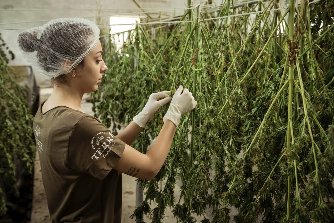 Planting Cannabis Monitoring Growth